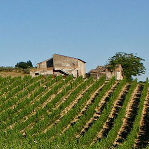 Contesa-vineyard